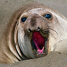 Northern Elephant Seal,  mirounga angustirostris, by Eyal Nahmias