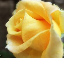 My First Yellow Rose 1 by Christopher Johnson