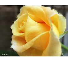 My First Yellow Rose 1 Photographic Print