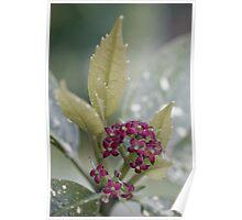 Aucuba japonica in bloom Poster