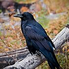Corvus corax - Yellowstone by starsofglass