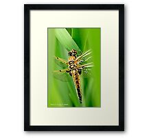 Newly emerged  Four-Spotted Chaser libellula quadrimaculata. Framed Print