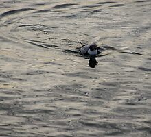Moire Silk Water and a Long Tailed Duck by Georgia Mizuleva
