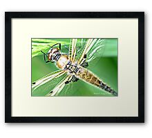 Newly emerged  Four-Spotted Chaser libellula quadrimaculata Framed Print