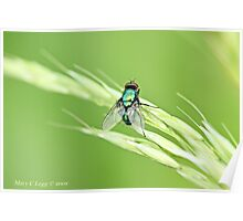 Green Bottle Fly, Lucilla  sericata  or silvarum Poster
