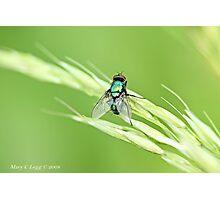 Green Bottle Fly, Lucilla  sericata  or silvarum Photographic Print