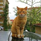 Lovely cat! by rasim1