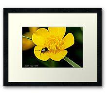 Cryptocephalus bameuli, leaf beetle Framed Print