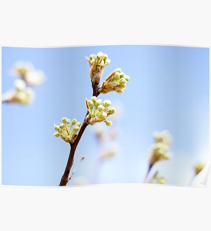 Spring Tree Buds Poster