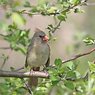Female Cardinal visits our apple tree by livinginoz