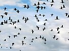 White-faced Ibis ~ Flock by Kimberly Chadwick