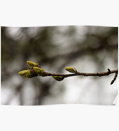 Cold Spring Buds Poster