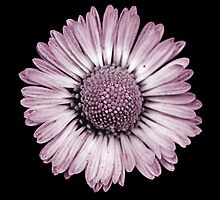 Retro Daisy in Pink by tanjica