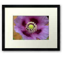 Purple poppy Framed Print