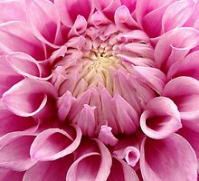 Pink Dahlia by gypsygirl