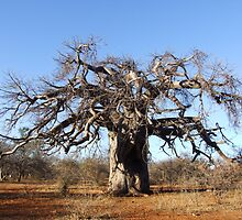 Baobab Winter by Antionette
