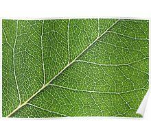 Macro shot of backlit rose leaf Poster