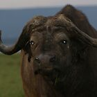 Old Wild Buffalo  by sharkyvin