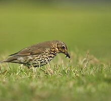 Song Thrush Collecting Worms by photoshotgun
