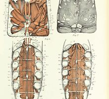 On the Muscular and Endoskeletal Systems of Limulus and Scorpio Sir Edwin Ray Lankester 1883 0062 Anatomy Scorpion by wetdryvac