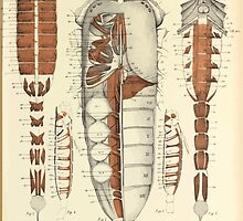 On the Muscular and Endoskeletal Systems of Limulus and Scorpio Sir Edwin Ray Lankester 1883 0060 Anatomy Scorpion by wetdryvac