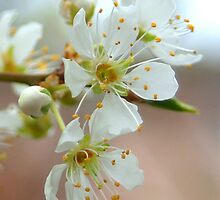 Plum Blossoms Close Up by Diana Graves Photography