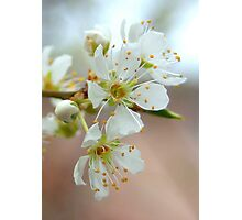 Plum Blossoms Close Up Photographic Print