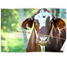 Cow in captivity Poster