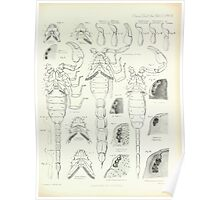On the Muscular and Endoskeletal Systems of Limulus and Scorpio Sir Edwin Ray Lankester 1883 0094 Anatomy Scorpion Poster