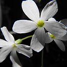 Back Lit Shamrock Blossom by Tracy Wazny