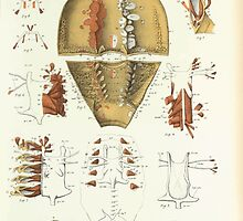 On the Muscular and Endoskeletal Systems of Limulus and Scorpio Sir Edwin Ray Lankester 1883 0036 Anatomy Horseshoe Crab by wetdryvac