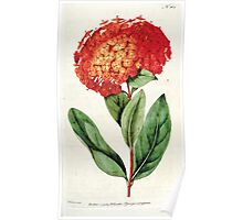 The Botanical magazine, or, Flower garden displayed by William Curtis V5 v6 1792 1793 0052 Ixora Coccinea, Carlet Ixora Poster