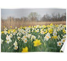Daffodil Heaven Poster