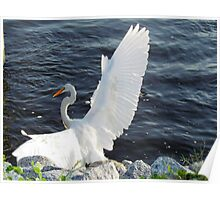 Egret Spreading Her Wings Poster