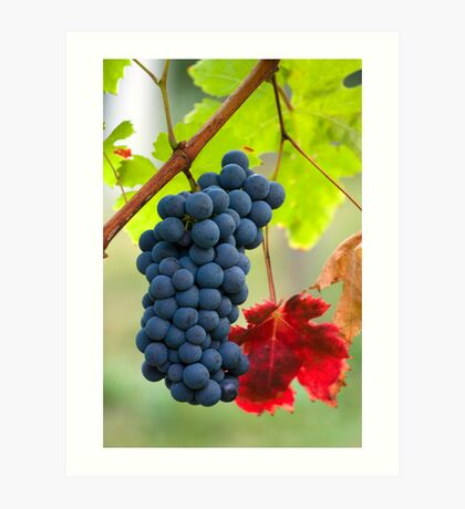 Cluster of grapes Art Print
