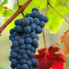 Cluster of grapes by Wildcat123