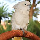 Contemplative cockatoo by Lauren Banks