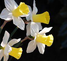 Daffodills by Gail Faulkner