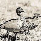 A couple, birds by Kornrawiee