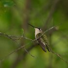 Ruby-throated Hummingbird (Archilochus colubris) by AlixCollins