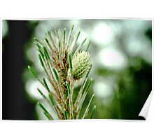 New Pine Needles Poster