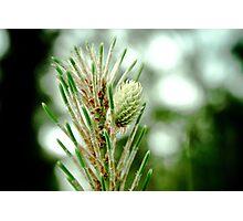 New Pine Needles Photographic Print