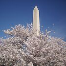 Washington D.C. Cherry Blossom Festival by oschantz623