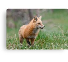 Fox Biscuits Metal Print
