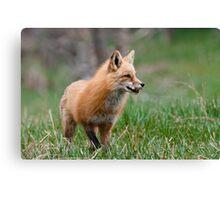 Fox Biscuits Canvas Print