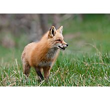 Fox Biscuits Photographic Print