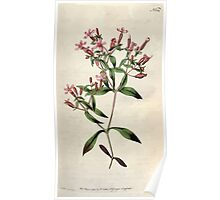 The Botanical magazine, or, Flower garden displayed by William Curtis V5 v6 1792 1793 0021 Saponaria Ocymoides, Basil Soap Wort Poster