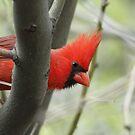 7D ISO 1000 Cardinal by tomryan