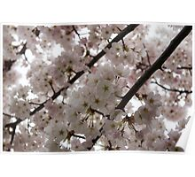 A Cloud of Cherry Blossoms Poster