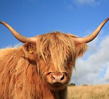 Highland Cow by Anthony Collins